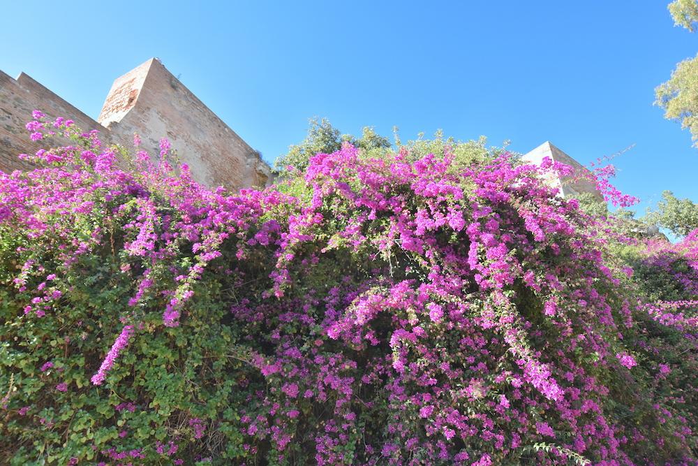bouganvillea malaga alcazaba