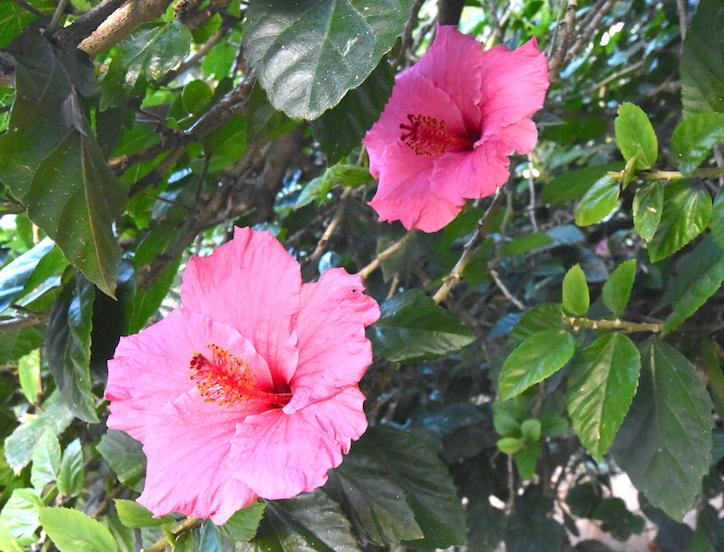 jardines de malaga hibiscus catedral