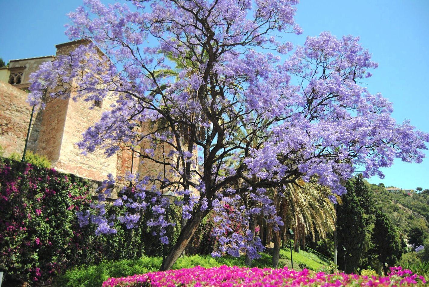 jacaranda alcazaba malaga gardens