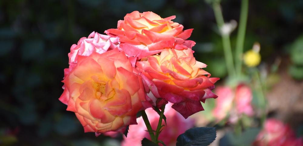 rosa jardines de málaga