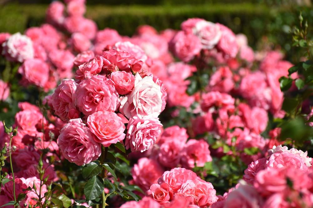 malaga gardens roses